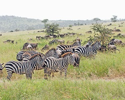 Zebra and wildebeest herds