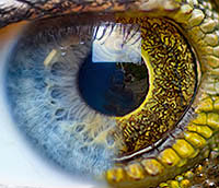 Human and Lizard Iris Morphed Together