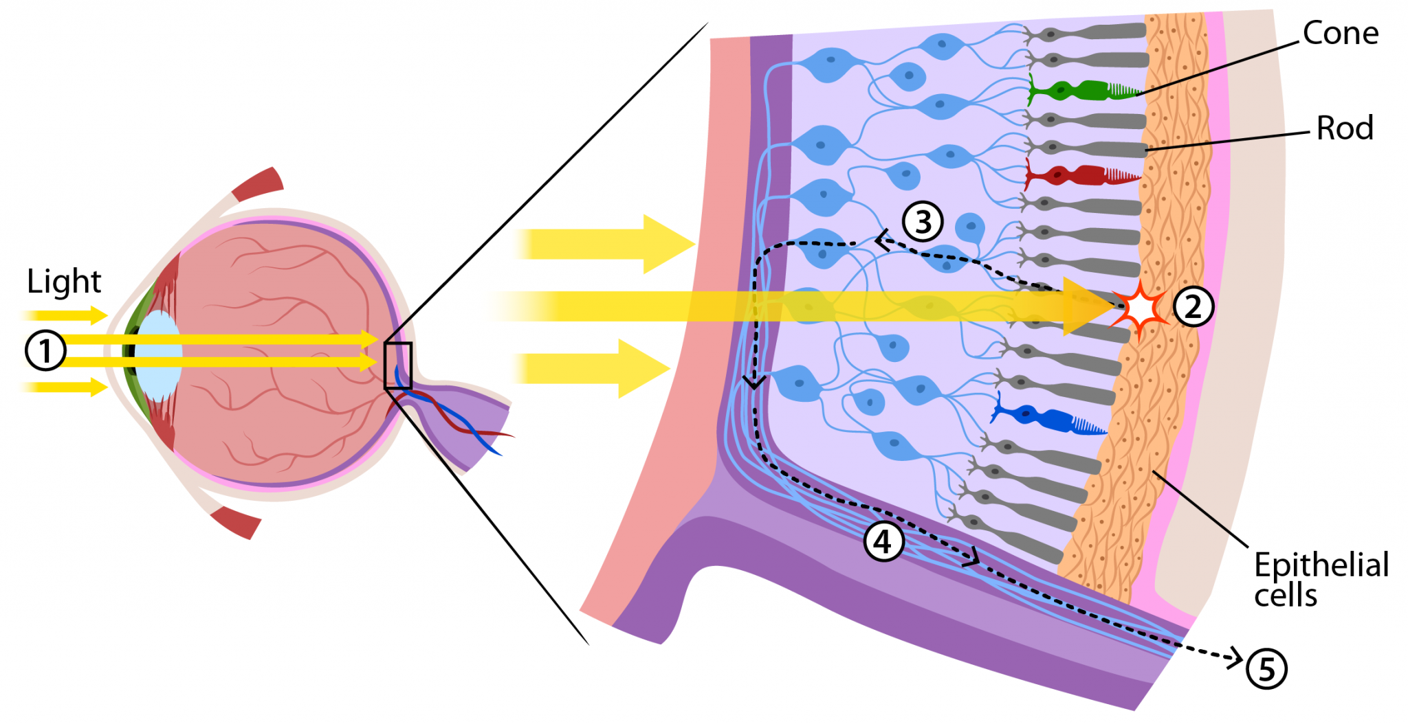 Retina Rods And Cones Diagram - Block And Schematic Diagrams •