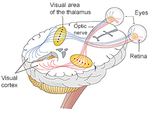 Brain - Optic Nerve - Eyes Path