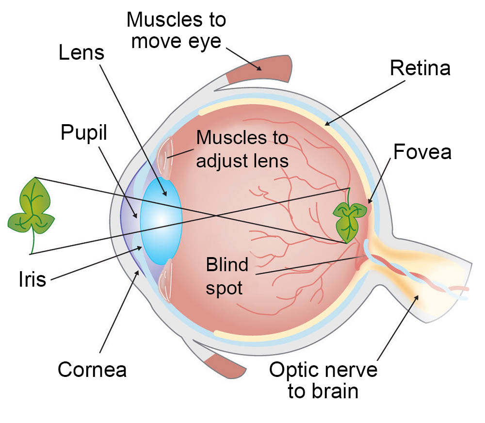 How Do We See Light Ask A Biologist Simple Brain Diagram Clipart Best Eye