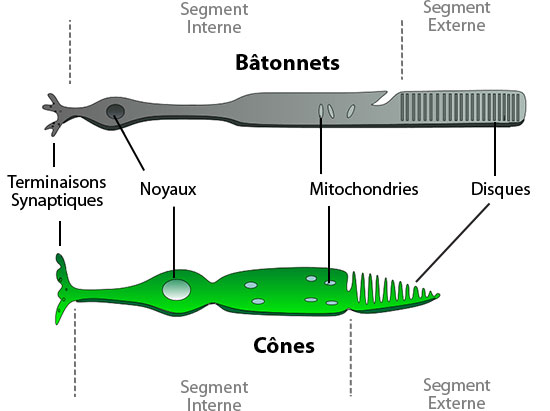rods and cones of the eye