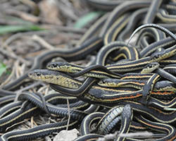 Garter snake mating ball