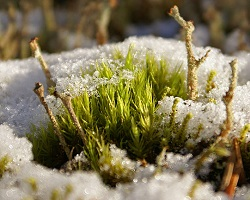 Moss and lichen in snow