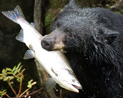 Black bear catching a salmon