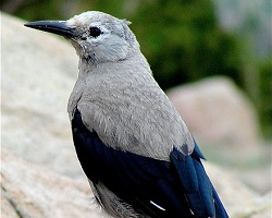 Clark's Nutcracker from Rocky Mountain National Park