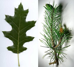 Deciduous versus coniferous leaf. Red oak and pine