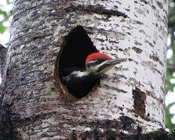 Pileated woodpecker at Seney National Wildlife Refuge