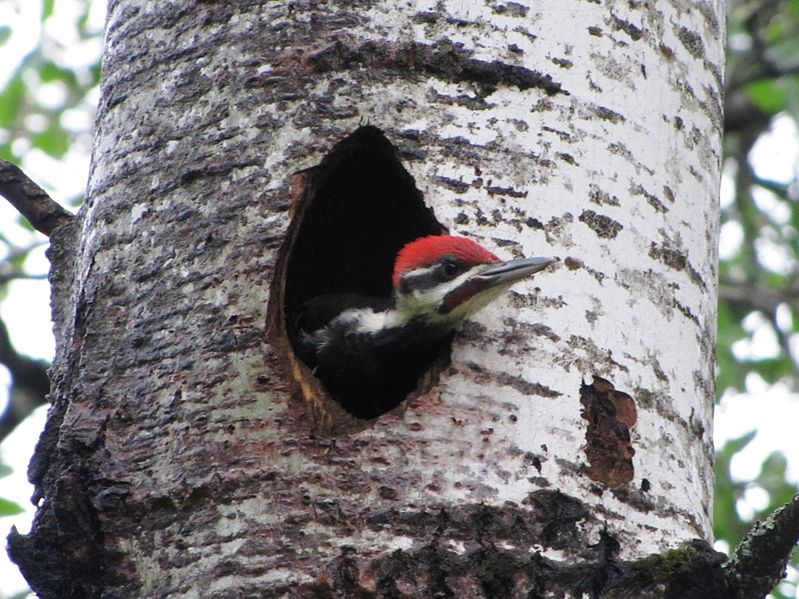 Animals Of The Temperate Forest Pileated Woodpecker At Seney National Wildlife Refuge