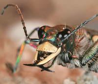 Tiger Beetle Head with Mandibles