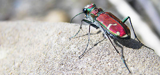 Cicindela limbalis, the green-margined tiger beetle