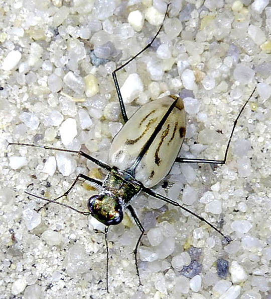 Tiger Beetle Adaptations   Ask A Biologist