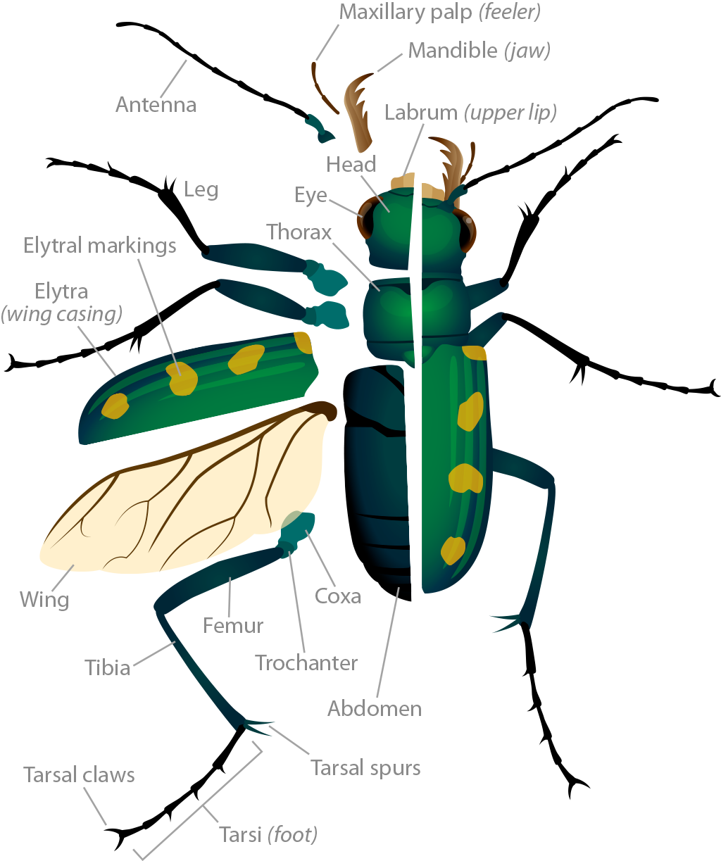 Anatomy of insects