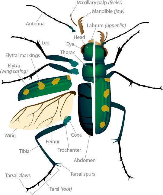 Tiger beetle anatomy pop up image