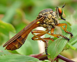 Robber fly perched on a leaf