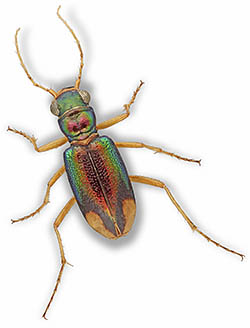 Tiger Beetle - Tetracha carolina