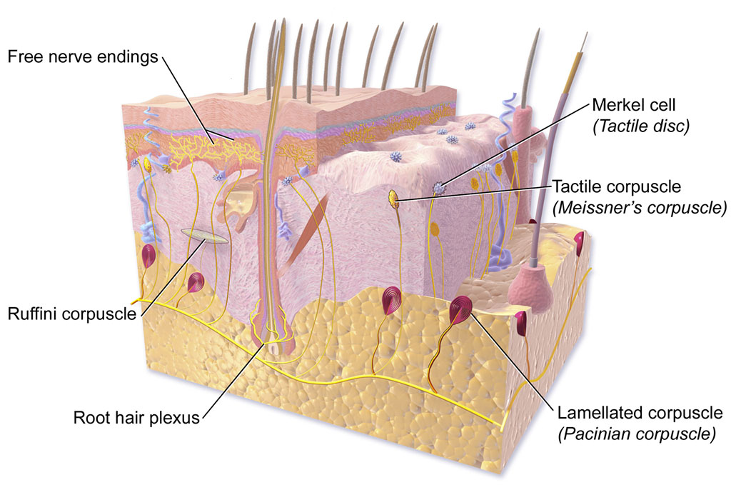 an illustration of skin, with labeled parts showing skin anatomy