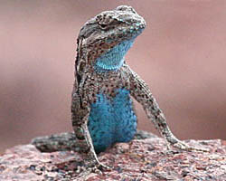 Lizards - Blue Morph