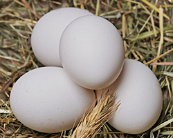 Four chicken eggs in a pile on straw