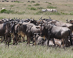 A herd of wildebeest during migration