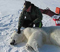 Biologist with polar bear