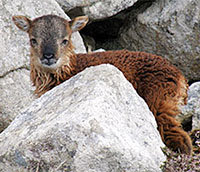 Soay Sheep Lamb St. Kilda