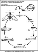 Ask A Biologist, Coloring Page, Manduca Life Cycle