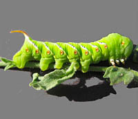 Manduca Caterpillar