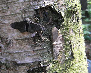 Light and dark peppered moths, Biston betularia.
