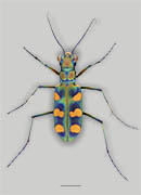 <em>Calochroa octonotata</em> - Giant Riverine Tiger Beetle