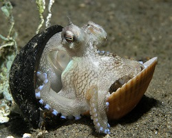 Veined octopus in shell.