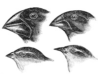 Illustration of finch beaks from Voyage of the Beagle