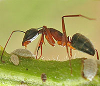 Ant harvesting scale insect