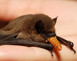 bat eating mealworm