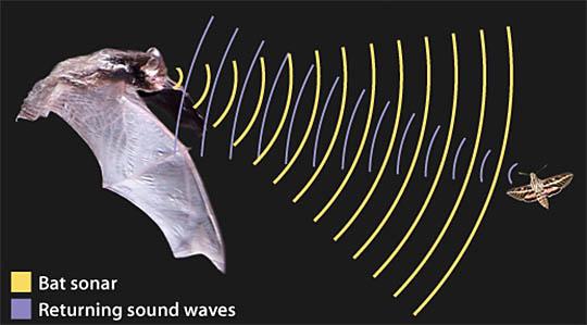 I Bat how insect bats learn ask a biologist