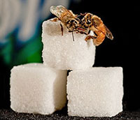 Honey bees on sugar cube