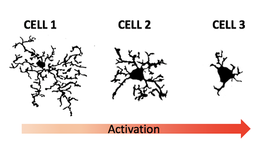 Microglia cells activation stages