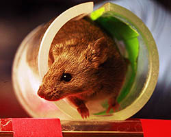 Lab mouse in tube