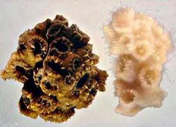 Healthy vs bleached coral