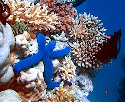 Coral reef with blue starfish
