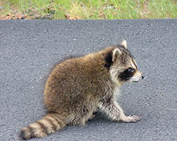 Raccoon on the road