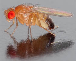 Drosophila - fruit fly