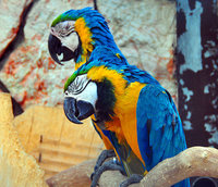 sleeping macaws