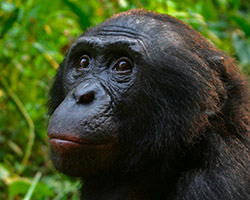 Male bonobo face