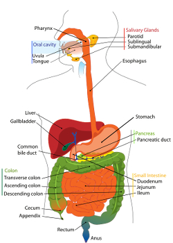 Diagram of the human gastrointestinal tract