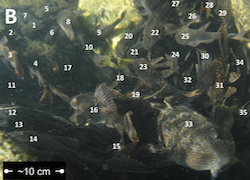 A large number of pleco fish swim in a group. There is a number over each pleco to show that scientists were counting how many fish were in a particular area of water.