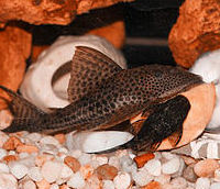 A pleco fish sits on the bottom of  fish tank. It is a copper color with many small black spots. It appears to be close to a smaller pleco fish that is all black in color.