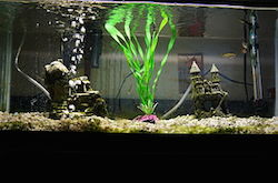 A close up picture of a fish tank. The middle of the tank is glowing, with a bright green plant moving up through the water. A rock sits to the left of the plant with bubbles coming from it. A small castle sits to the right with a small hole for fish to swim through.