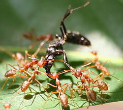 many brownish-red ants are together on top of a leaf-like structure. They are working together to carry a larger object, which is another bug of some kind. It is larger than the ants and black in color.