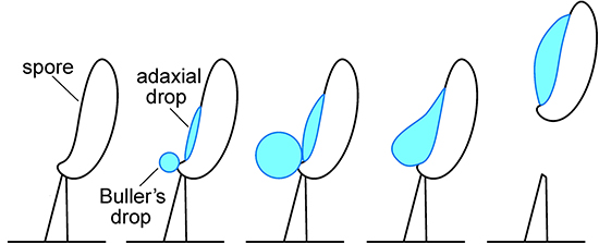 An illustration showing the formation of a water droplet on a mushroom spore.